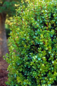 African Boxwood, Myrsine of Africa