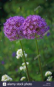 Allium christophii / Estrella persa