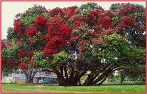 Árbol de Navidad de Nueva Zelanda, Pohutukawa