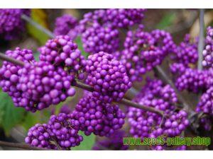 Arbusto de caramelo morado