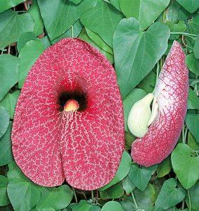 Aristolochia gigantea / Aristolochia gigante