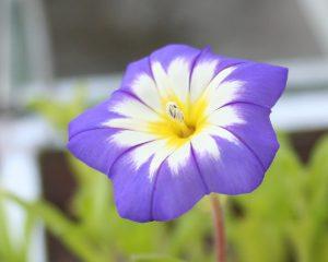 Belle-de-jour, Tricolor bindweed