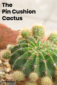 Cactus cushion, Mammillaire