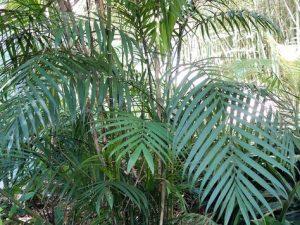 Chamaedorea costaricana / palmera de bambú costarricense
