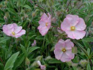 Cistus x skanbergii / Cistus skanbergi, jara enana rosa