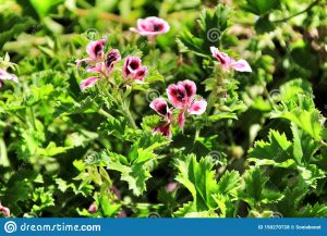 Citronella geranium, Pelargonium lemon