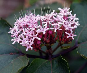 Clerodendron bungei / Clerodendron fétido