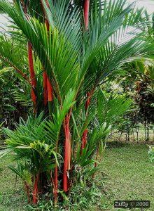 Cyrtostachys renda / Palmera de tronco rojo