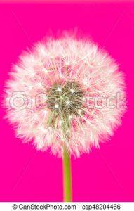 Diente de león de flor rosa