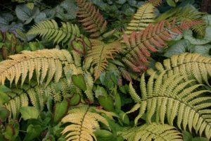 Dryopteris Sunset Fern