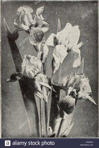 Enredadera Virginia Delavay, Enredadera Virginia Trífida, bayas de porcelana Delavay