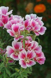 Flor de satén, Godetia, Clarkia