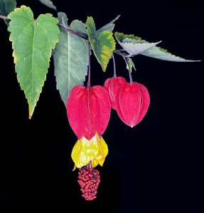Great river abutilon, Linterna china