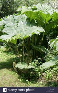 Gunner, Giant Rhubarb