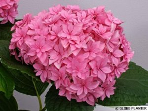 Hortensia YOU and ME Perfection