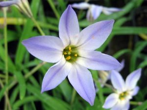 Ipheion uniflorum / Iphéion uniflore