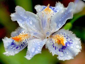 Iris du japon, Iris con flecos