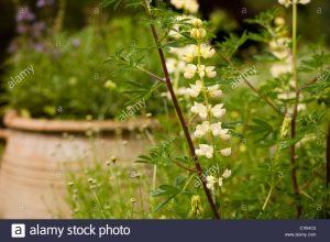 Lupinus arboreus / Altramuz de árbol, Altramuz de árbol