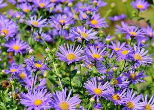 New England autumn aster