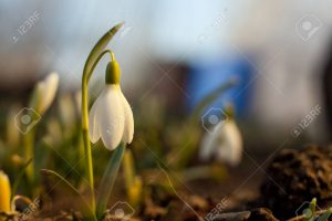 Nieve de primavera, Campana blanca