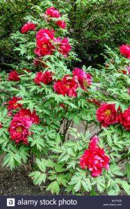 Paeonia x suffruticosa / Peonía de arbusto, Peonía de árbol