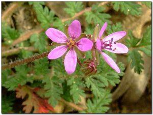 Pelargonium-flower Erodium, Pico de grulla
