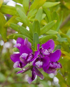 Polygala con hojas de mirto, Polygala myrtifolia