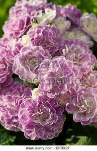 Primula vulgaris var. Belarina / Prímula doble, Prímula doble Belarina