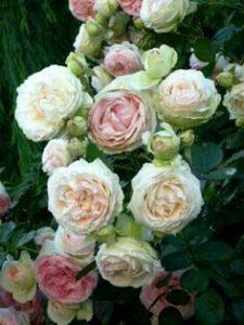 Rosa francesa