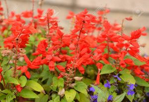 Salvia brillante, salvia roja