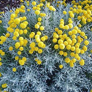 Santolina chamaecyparissus / Santoline petit-cyprès