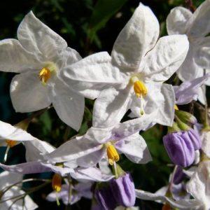 Solanum jasminoides / Falso jazmín de noche