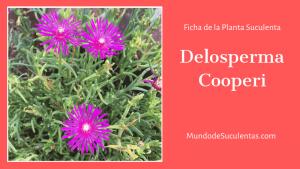 Spalmanhoid Delosperma / Hoja Cilíndrica Delosperma
