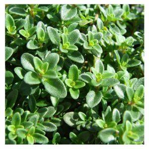 Thymus nitens / Tomillo brillante