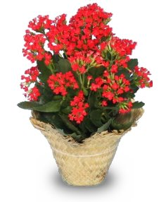 Thyrsian Flowering Kalanchoe