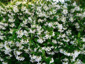Trachelospermum jasminoides / Jazmín estrella, Jazmín falso, Trachelospermum