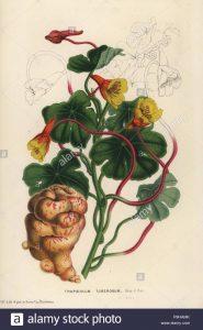 Tropaeolum tuberosum / Nasturtium tuberosa