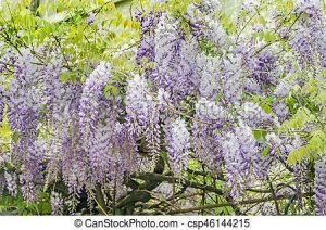 Wisteria sinensis / Wisteria de China