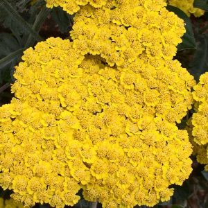 Yellow Yarrow, Milenrama