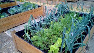 El cultivo de lechuga: Cómo plantar lechuga en interiores o en contenedores todo el año