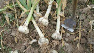 El cultivo del ajo: cómo plantar, cultivar, cosechar y almacenar el ajo