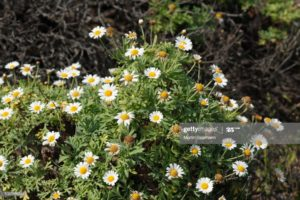 Canary Islands Anthemis, Canary Islands Daisy