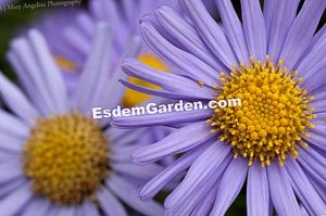 Queen daisy,Aster of China