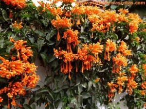 Plantas Bignonia De Invierno