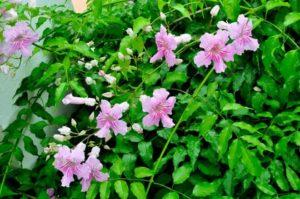 Plantas Bignonia Rosa