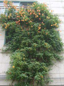 Plantas Campsis