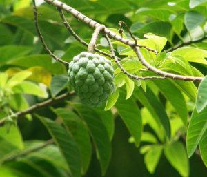 Plantas Chirimoya