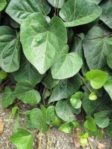 Plantas Hiedra De Persia