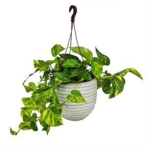 Plantas Potos