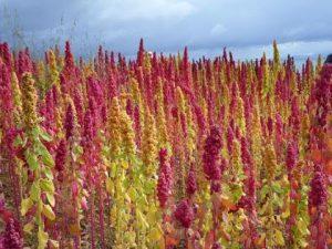 Como plantar quinoa